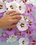 Engagement Ring on Hand & Flowers. Young woman's hand with diamond engagement ring touching Rose of Sharon blossoms . White and orchid flowers fill the Royalty Free Stock Photo