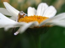 Engagement Ring On Marguerite Stock Images