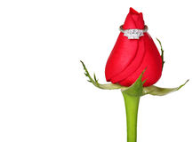 Engagement Ring and Red Rose isolated Stock Photo
