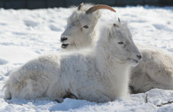 Engaging Winter Closeup Of Dall Sheep In Snow Royalty Free Stock Photos