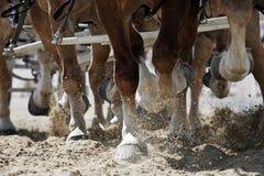 Enganches del caballo en la acción Fotografía de archivo
