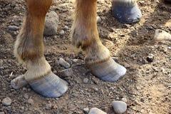 Enganches demasiado largos en un caballo islandés imagen de archivo