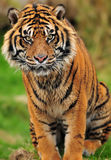 Engangered Sumatran tiger closeup Stock Images