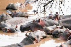 Engarrafamento dos hipopótamos fotos de stock royalty free