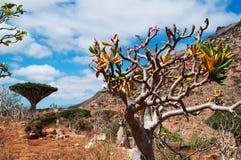 Engarrafe a vista geral da árvore na floresta das árvores de Dragon Blood no platô de Homhil, Socotra, Iémen foto de stock royalty free