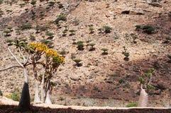 Engarrafe a vista geral das árvores com a floresta no fundo, platô das árvores de Dragon Blood de Homhil, Socotra, Iémen fotografia de stock royalty free
