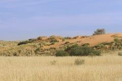 Engazonnez l'élevage sur des dunes de sable dans le Kalahari après de bonnes pluies Photographie stock