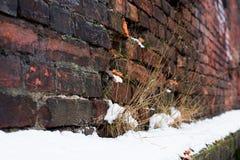 Engazonnez l'élevage sur un mur de briques cassé dans la neige Photos stock