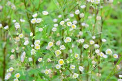 Engazonnez la fleur Photo stock