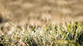 Engazonnez le pré en plan rapproché de lever de soleil de matin avec des gouttes de l'eau dans j Images stock