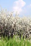 Engazonnez les fleurs blanches et la scène de ressort de ciel bleu Photographie stock