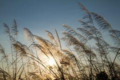Engazonnez les fleurs pendant le coucher du soleil avec la faible luminosité contre le soleil Photographie stock libre de droits