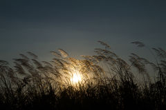 Engazonnez les fleurs pendant le coucher du soleil avec la faible luminosité contre le soleil Image libre de droits