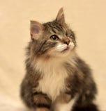 Enögd fluffig katt Royaltyfri Foto