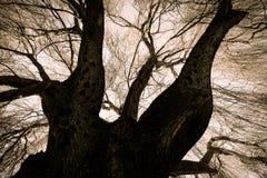 Enge Huilende Willow Tree Royalty-vrije Stock Afbeeldingen