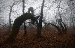Enge verdraaide bomen in geheimzinnig achtervolgd bos met mist Royalty-vrije Stock Fotografie