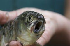Enge vissen met een bochtige mond in de hand van de visser stock foto's