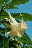 Engel ` s Trompete, Brugmansia arborea Stockfotografie