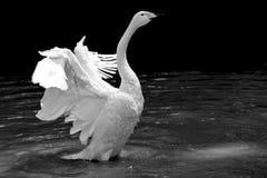 Witte zwaan met het openen van vleugels stock fotografie afbeelding 26033282 - Aubade verkoop ...