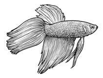Engelhaiillustration, Zeichnung, Stich, Tinte, Linie Kunst, vectorCollection der Aquariumfischillustration, Zeichnung, Stich, Tin Lizenzfreies Stockbild
