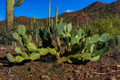 Engelman's prickly pear cactus Royalty Free Stock Images