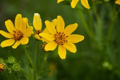 Engelmann的雏菊花 得克萨斯野花 免版税库存图片