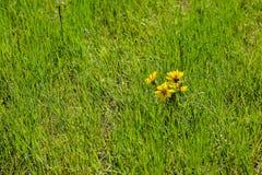 Engelmann Daisy Asteraceae In Grass Imagen de archivo