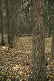 Engelmann spruce tree trunk & forest floor. AutumnCanadian RockiesFenlands, Banff,Alberta, Canada stock photo