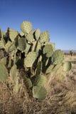 Engelmanns cactus or prickly pear, Opuntia engelmannies Stock Image
