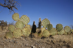 Engelmanns cactus or prickly pear, Opuntia engelmannies Royalty Free Stock Photography