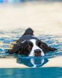 Engels Aanzetsteenspaniel die in Pool zwemmen Royalty-vrije Stock Fotografie