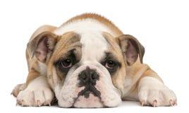 Engels buldogpuppy, 4 maanden oud, het liggen Royalty-vrije Stock Afbeelding