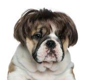 Engels buldogpuppy die een pruik voor witte achtergrond dragen Royalty-vrije Stock Foto