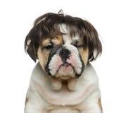 Engels buldogpuppy die een pruik voor witte achtergrond dragen Stock Fotografie