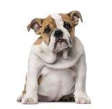 Engels Buldogpuppy (3 maanden oud) Royalty-vrije Stock Afbeelding