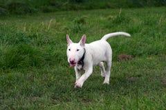 Engels bull terrier royalty-vrije stock foto