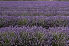 Engels Lavendelgebied 1 Stock Afbeelding