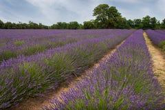 Engels Lavendelgebied 2 Royalty-vrije Stock Afbeeldingen