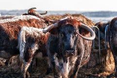 Engels Longhorn-Vee Royalty-vrije Stock Foto's