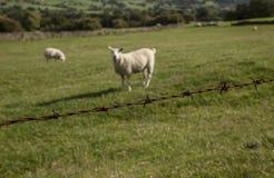 Engels platteland - groene weiden en schapen royalty-vrije stock afbeeldingen