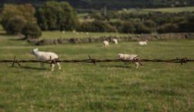 Engels platteland - groene weiden en schapen, een prikkeldraadomheining stock afbeeldingen