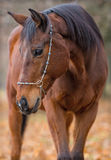 Engels rasecht paard Stock Foto's