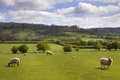 Engels weiland met het weiden van schapen Royalty-vrije Stock Afbeeldingen