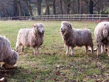 Engelse Britse landbouwbedrijfschapen het voeden het weiden de herfstkoude Stock Afbeelding