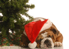 Engelse buldog bij Kerstmis Royalty-vrije Stock Foto
