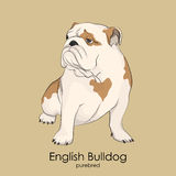 Engelse Buldog, Britse Buldog Royalty-vrije Stock Foto's