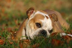 Engelse buldog in de herfst Stock Foto's