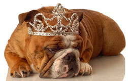 Engelse buldog die tiara draagt stock afbeeldingen
