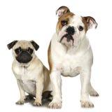 Engelse Buldog en pug Stock Foto's