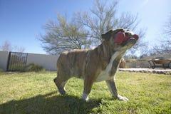Engelse buldog met rood genoemd been Luka-het spelen in achtertuin in Tucson, AZ stock foto